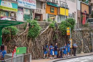 今年八月路政署連夜斬去般咸道四棵百年石牆樹。(孫綺羚攝)